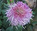 菊花-舞影凌亂 Chrysanthemum morifolium 'Chaotic Dancing Shadows' -香港雲泉仙館 Ping Che, Hong Kong- (12065011384).jpg
