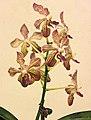 萬代蘭 Vanda Tariflor Noble Queen -台南國際蘭展 Taiwan International Orchid Show- (39032104910).jpg