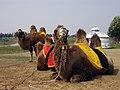 赛罕塔拉的骆驼 - panoramio.jpg