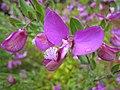 遠志屬 Polygala myrtifolia v grandiflora -澳洲塔斯曼尼亞 Barilla Bay, Tasmania- (10963346914).jpg