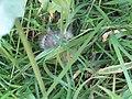 -2019-07-23 Goldfinch fledgling (Carduelis carduelis), Trimingham (1).JPG