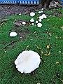 -2019-10-14 Feild mushrooms, Trimingham, Norfolk.JPG