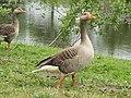 -2020-06-10 Greylag Goose (Anser anser), Paston village pond, Norfolk (2).JPG