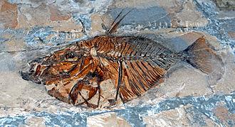 Museo Civico di Storia Naturale di Milano - Fossil of Vomeropsis triurus