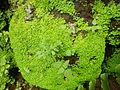 04599jfPulilan Butterfly Gardens Pupae Larvae Bulacanfvf 04.JPG