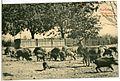 06402-Moritzburg-1905-Fütterung der Wildschweine-Brück & Sohn Kunstverlag.jpg