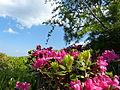 0 Rhododendron ferrugineum - Lachtal.JPG