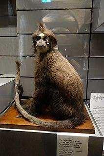 White-fronted surili Species of Old World monkey