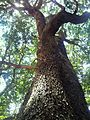 1 Olinia ventosa tree - Hard Pear - indigenous South African tree.jpg
