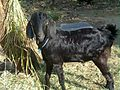 1 village goat- in tamilnadu.jpg