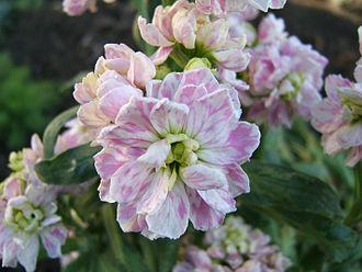 Matthiola incana - Double-flowered stock, Matthiola incana