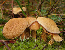 2010-10-17 Cystoderma amianthinum cropped.jpg