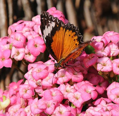 2011-04-25-lepidoptera-hunawihr-15.jpg