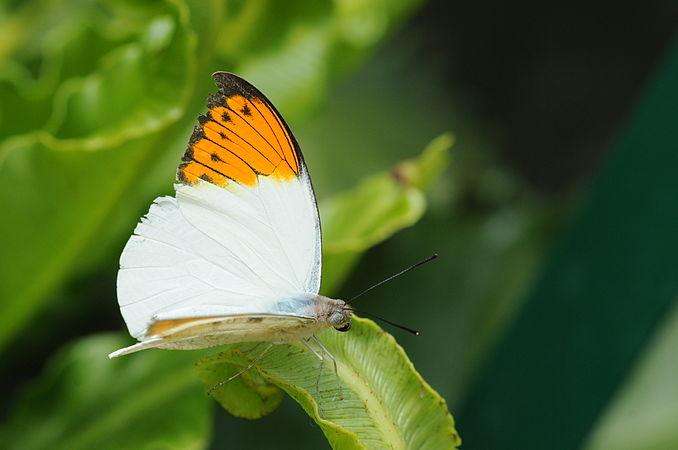 2011-04-25-lepidoptera-hunawihr-16.jpg
