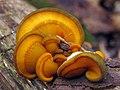 2011-10-30 Sarcomyxa serotina (Pers.) P. Karst 178821.jpg