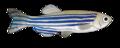 201108 zebrafish.png
