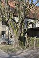 2012-03-17 ND Ginkgobaum in Sittichenbach Sachsen-Anhalt.jpg