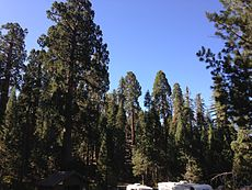 2013-09-20 09 50 42 Giant Sequoias in General Grant Grove.JPG