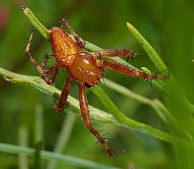 Križiak načervenalý (Araneus alsine) - samček