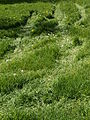 20130505 Maastricht 16 Meadow with tire tracks between Itteren and Borgharen.JPG