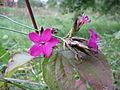 20130929Dianthus carthusianorum1.jpg