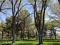 2014-05-02 13 58 03 Siberian Elm grove in the Elko City Park.JPG