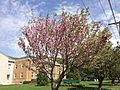 2014-05-12 10 55 41 Flowering Cherry along Lawrence Road (U.S. Route 206) in Lawrence Township, New Jersey.JPG