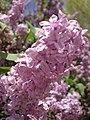 2014-05-18 11 29 40 Lilac in Elko, Nevada.JPG