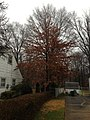 2014-12-24 15 26 13 Pin Oak along Terrace Boulevard in Ewing, New Jersey.JPG