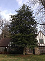 2014-12-30 11 29 18 American Holly along River Road (New Jersey Route 175) in Ewing, New Jersey.JPG