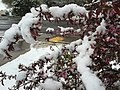 2015-05-07 08 05 20 New leaves and flowers covered by a late spring wet snowfall on a Crabapple on College Avenue in Elko, Nevada.jpg