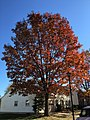 2016-11-18 11 48 45 Red Oak displaying autumn foliage along Dairy Lou Drive between Allness Lane and Dairy Lou Court in the Franklin Farm section of Oak Hill, Fairfax County, Virginia.jpg