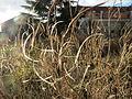 20160105Diplotaxis tenuifolia.jpg