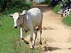 20160803 krowa w Miktili 7272.jpg