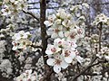 2017-02-28 14 42 46 Callery Pear blossoms in Franklin Farm Park in the Franklin Farm section of Oak Hill, Fairfax County, Virginia.jpg