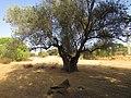 2017-10-12 Olive tree, Val da Azinheira, Albufeira.JPG
