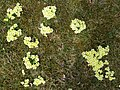 2018-04-09 (114) Primula vulgaris (primrose) at Bichlhäusl at Haltgraben in Frankenfels.jpg