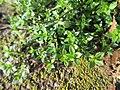 20180206Arenaria serpyllifolia2.jpg