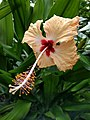20180825 Vlinders aan de Vliet - Hibiscus v2.jpg