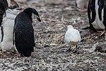 2019-03-03 165 Snowy sheathbill (Chionis albus), Barrientos Island, Antarctica.jpg