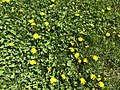 2019-04-20 12 15 19 Lawn with clover and dandelions along Hidden Meadow Drive in the Franklin Farm section of Oak Hill, Fairfax County, Virginia.jpg