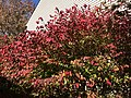 2019-11-06 12 37 55 A Euonymus during late autumn along Old Dairy Court in the Franklin Farm section of Oak Hill, Fairfax County, Virginia.jpg