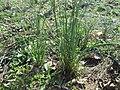 20190321 Allium vineale 1.jpg