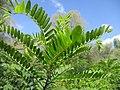 20200902Amorpha fruticosa2.jpg