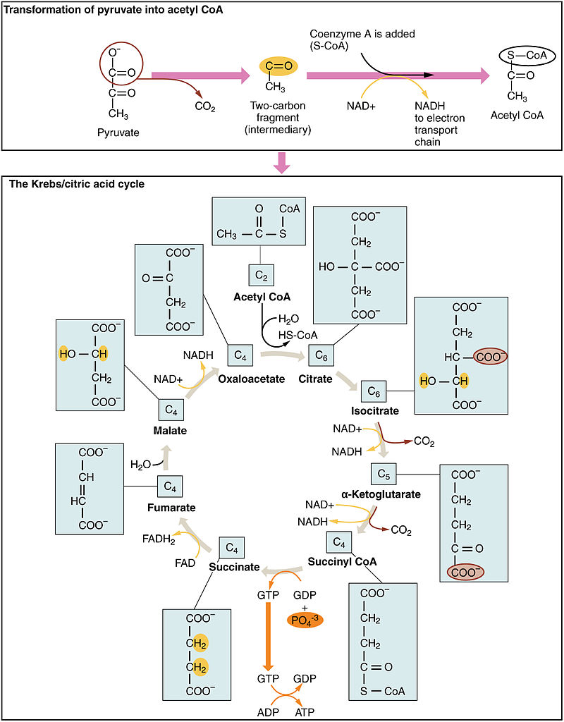https://upload.wikimedia.org/wikipedia/commons/thumb/6/61/2507_The_Krebs_Cycle.jpg/800px-2507_The_Krebs_Cycle.jpg