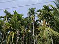 2 Areca Trees.jpg