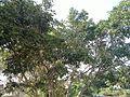 2 fig tree.jpg