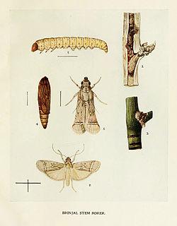 <i>Euzophera perticella</i> species of insect