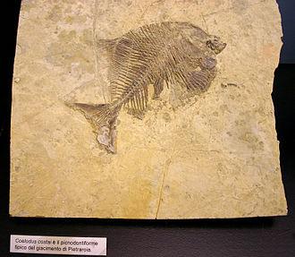 https://upload.wikimedia.org/wikipedia/commons/thumb/6/61/9178_-_Milano_-_Museo_storia_naturale_-_Coelodus_costai_-_Foto_Giovanni_Dall%27Orto_22-Apr-2007.jpg/330px-9178_-_Milano_-_Museo_storia_naturale_-_Coelodus_costai_-_Foto_Giovanni_Dall%27Orto_22-Apr-2007.jpg