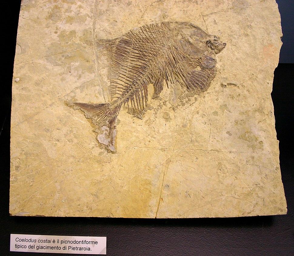 9178 - Milano - Museo storia naturale - Coelodus costai - Foto Giovanni Dall'Orto 22-Apr-2007